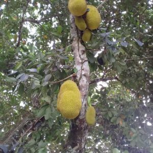 Artocarpus heterophyllus -Jackfruit