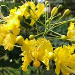 caesalpinia-pulcherrima