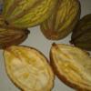theobroma bicolor cacao