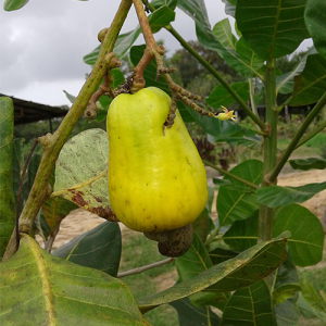 Anacardium occidentale (Cashew with fruit and nut)