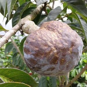 Annona diversifolia (Ilama)