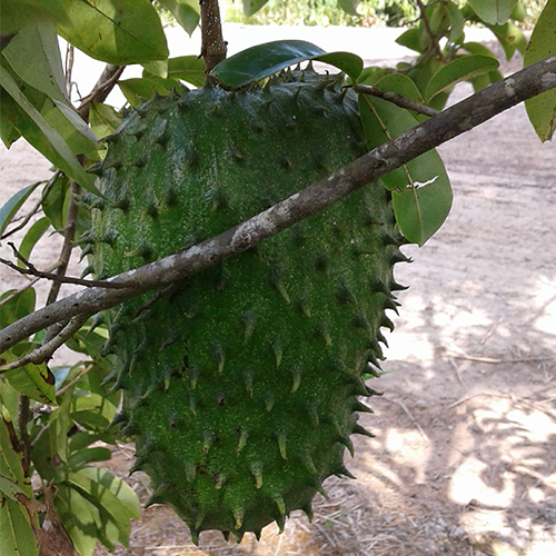 Annona muricata - soursop