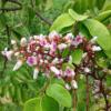 Averrhoa carambola var. Fwang Tong - flowers - blooming