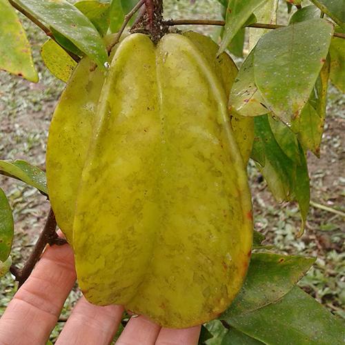 Averrhoa carambola var. Fwang Tong - fruit
