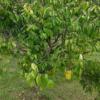 Averrhoa carambola var. Fwang Tong - tree