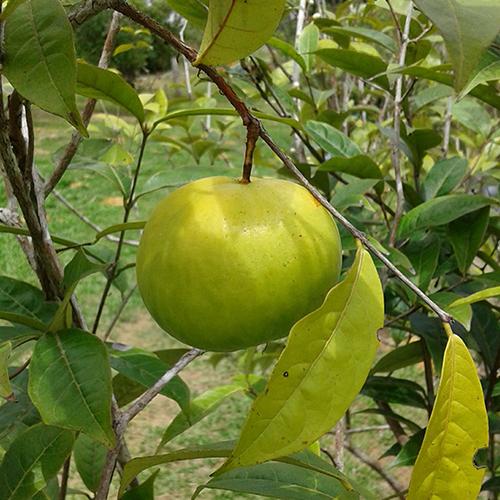 Eugenia pyriformis (Uvalha)
