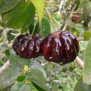 Eugenia uniflora Black Star - Surinam Cherry