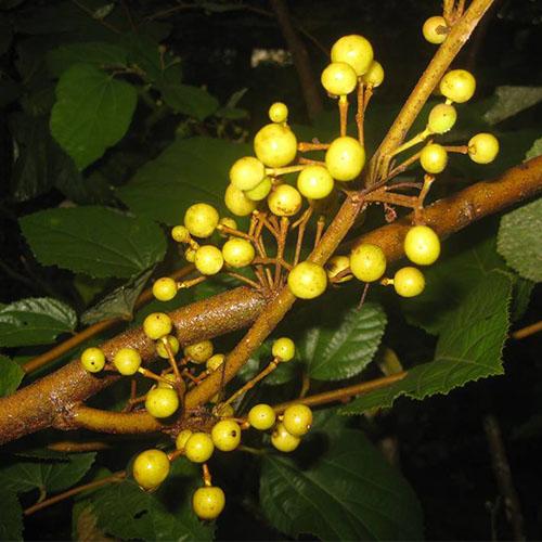 Grewia asiatica (Phalsa)