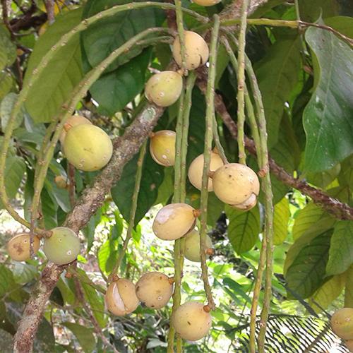 Lansium domesticum (Longkong, Duku)