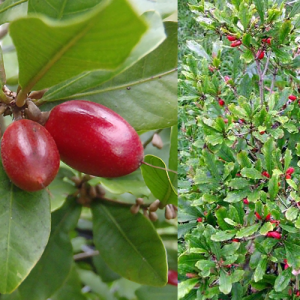 Synsepalum-Dulcificum-(Miracle-fruit)