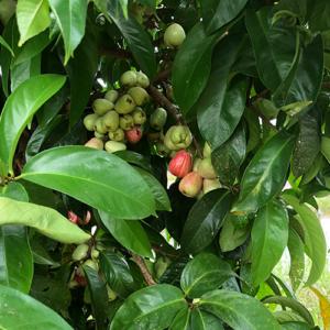 Syzygium-aqueum-Pommerak-Java-apple