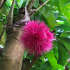 Syzygium-aqueum-(Pommerak,-Java-apple)-flower-bloosem