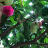 Syzygium-aqueum-Pommerak,-Java-apple-in-tree