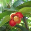 garcinia-mangostana-mangistan-flower-blooming