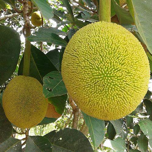 Artocarpus odoratissimus (Marang-Terap)