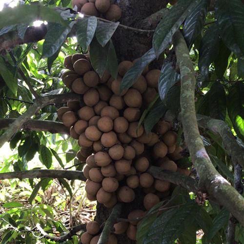 Stelechocarpus burahol (Kepel)