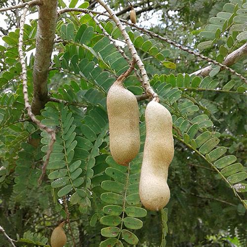 Tamarindus indica (Tamarinde)