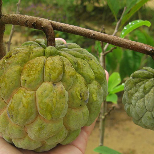 Annona cherimoya (Thai Custardapple)