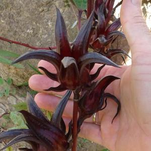 Hibiscus-sabdariffa-Arab-seed-pot