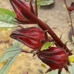 Hibiscus-sabdariffa-Roselle-Sjoeroe