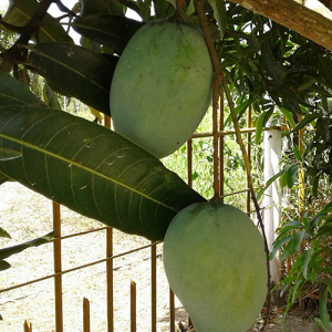 Mangifera-indica-'Neelum'-(Mango)
