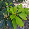 Manilkara-Zapota-Sapotille-plant-with-fruits