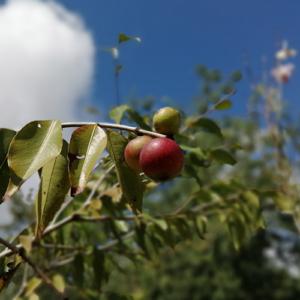 Myrciaria Dubia (Camu-Camu)