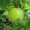 Passiflora-edulis-flavicarpa-(Markoesa)-in-plant