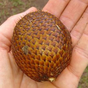 Salacca-Zalacca-(Snakefruit)