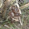 Salacca-Zalacca-snakefruit-plant
