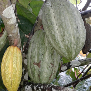 Theobroma-cacao-fruits-on-plant