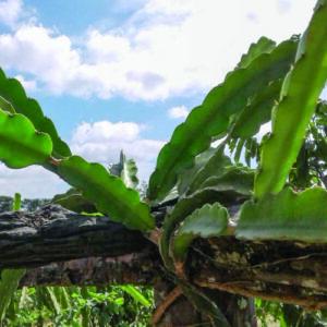 Dragon fruit Plant Hailey's Comet