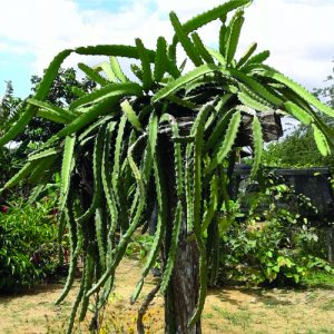 Dragon fruit Plant Red Jiana