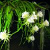 Dragon fruit Plant Surinam Red - Flowers