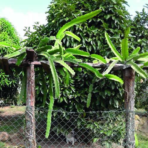 Dragon fruit Plant Thai Dragon