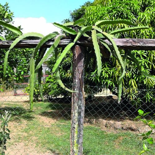 Dragon fruit Plant Voodoo Child