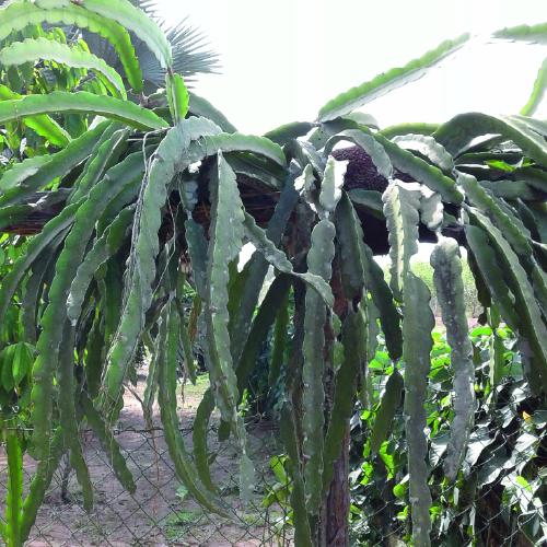 Dragon fruit Plant delight