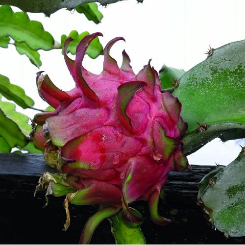 Dragon fruit Wiangel
