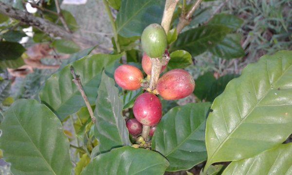 Coffea arabica (coffee)