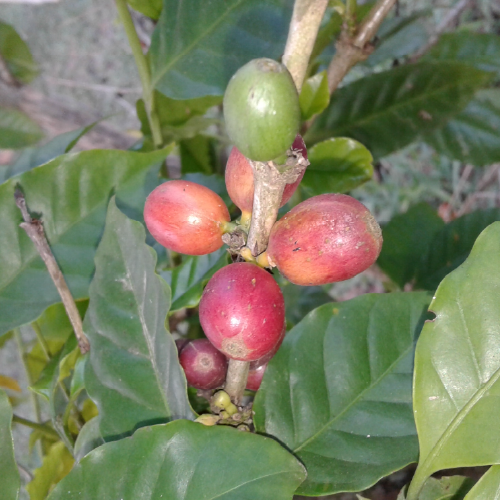Coffea arabica (coffee bean)
