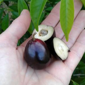 Eugenia Candolleana (Rainforest Plum)