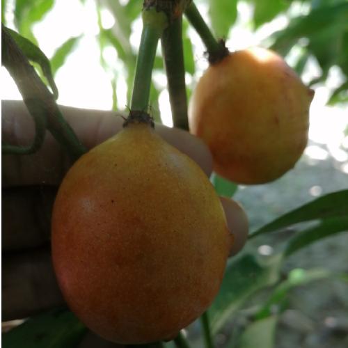 Garcinia Humilis (Achacharu)