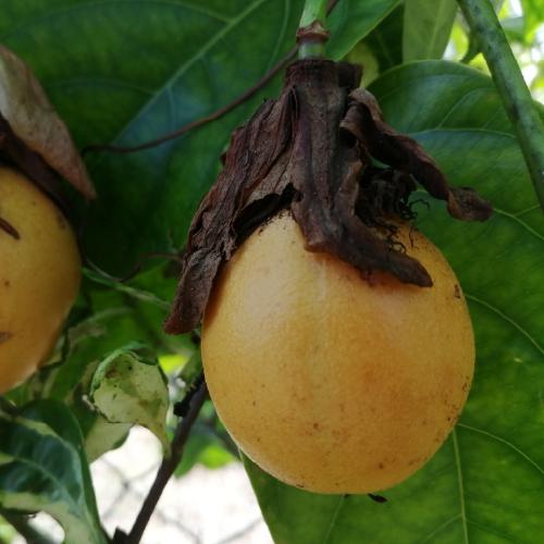 Passiflora laurifolia (Yellow-Granadilla) - (Sweet Markoesa)