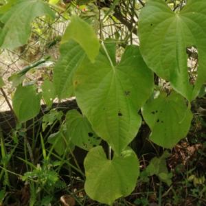 Piper marginatum (anisi wiwiri)
