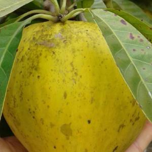 Pouteria Campechiana var. Bahamas Trompo