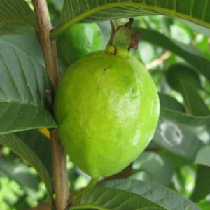 Psidium guajava (Guave)