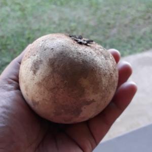 Manilkara Zapote (Sapodilla)
