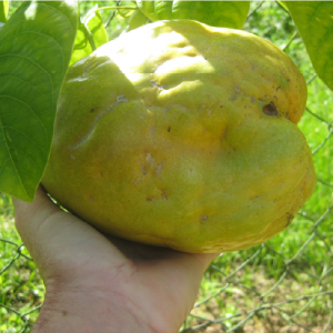 Passiflora quadrangularis (Giant Granadilla)