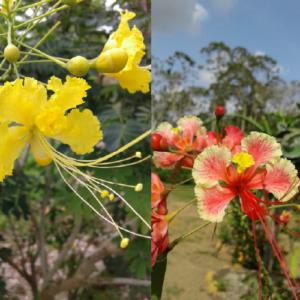 Caesalpinia pulcherrima - Barbados mix