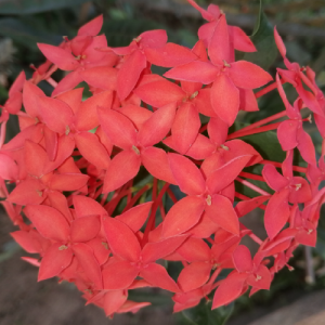 Ixora coccinea (Faja Lobi Dark Orange)